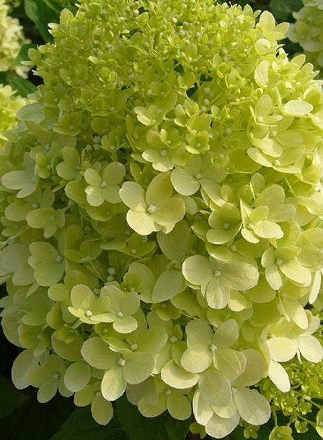 Hortensia - Hydrangea paniculata Little lime