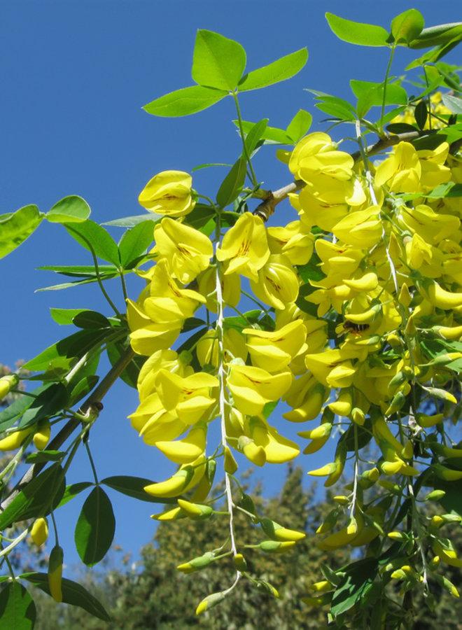 Gouden regen - Laburnum watereri Vossi