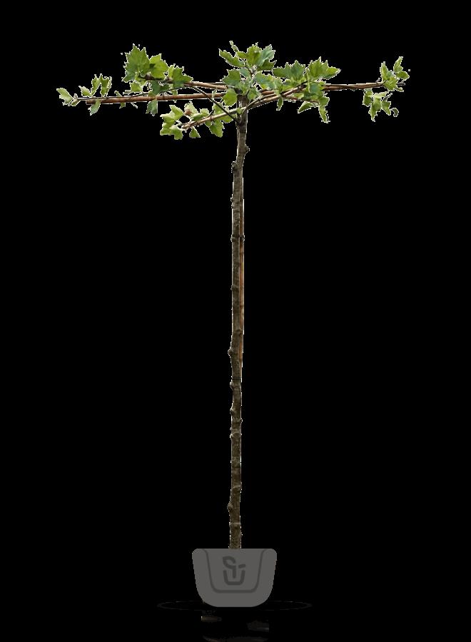 Dakplataan - Platanus hispanica