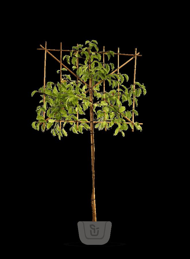 Leimagnolia | Magnolia kobus