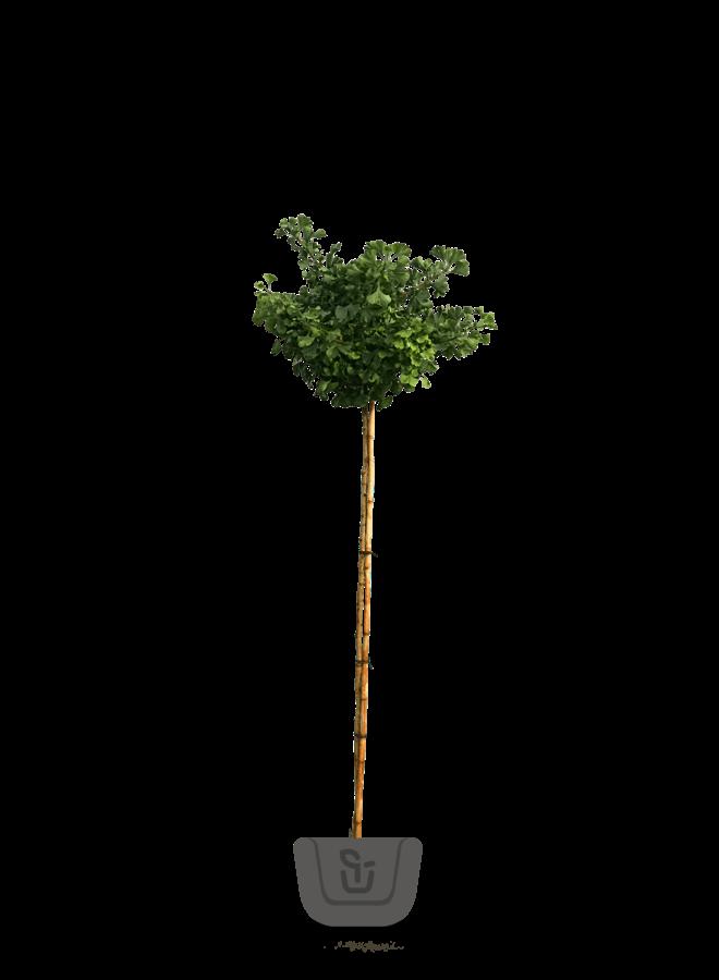 Japanse notenboom - Ginkgo biloba Mariken