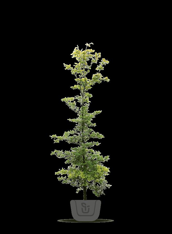 Groene Beuk - Fagus sylvatica