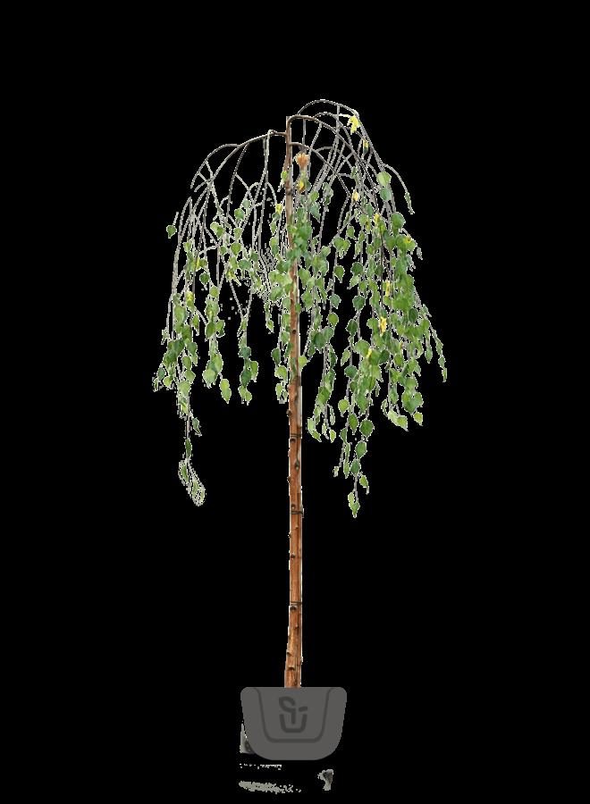 Treurberk | Betula pendula Younghii