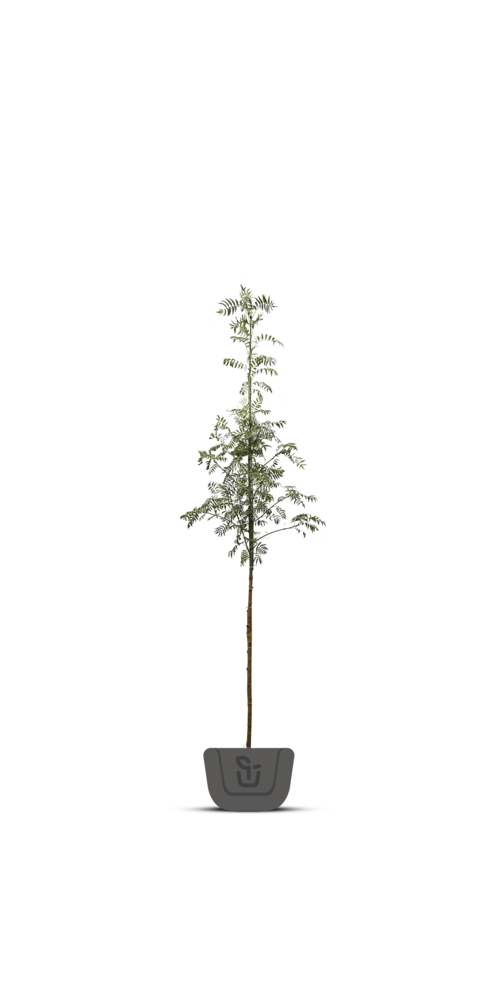 Lijsterbes bomen