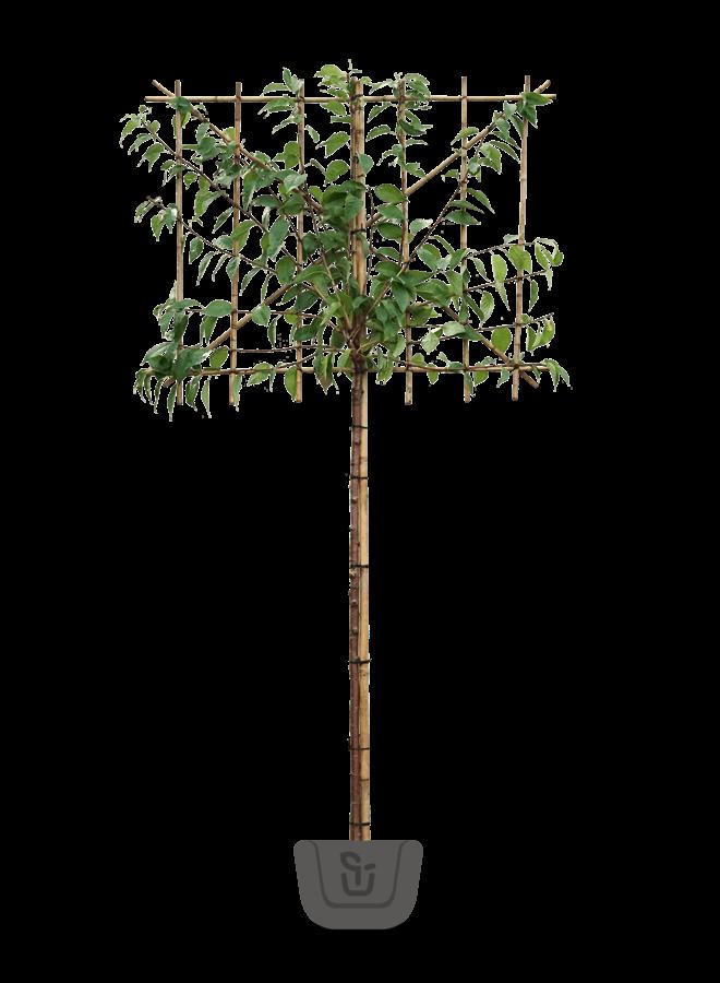 Japanse leisierkers |  Prunus ser. Kanzan