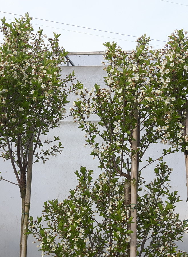 Bolkers - Prunus eminensis Umbraculifera