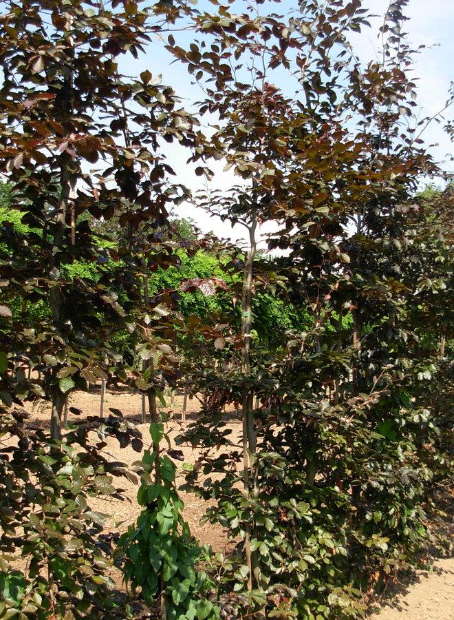 Leibeuk rood | Fagus sylvatica Atropunicea