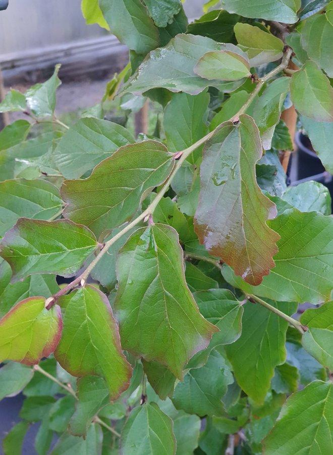 Perzisch ijzerhout - Parrotia persica