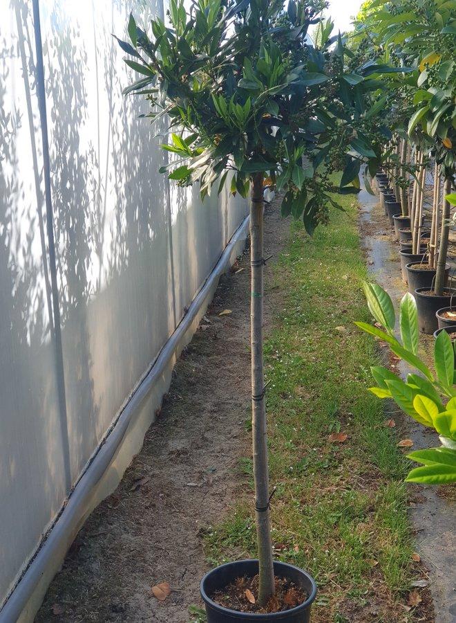Bol laurier | Prunus laurocerasus Etna