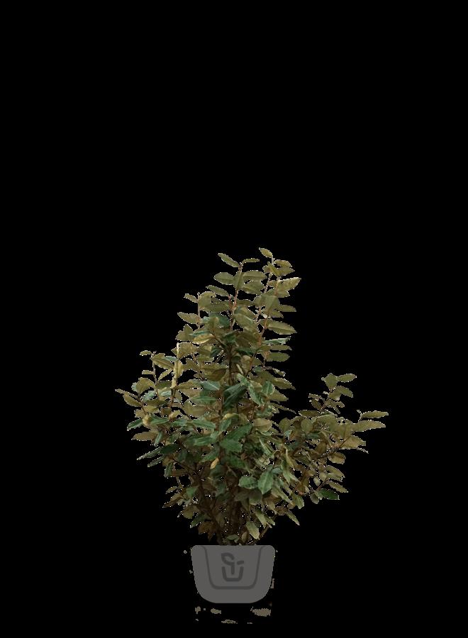 Olijfwilg |  Elaeagnus ebbingei Compacta