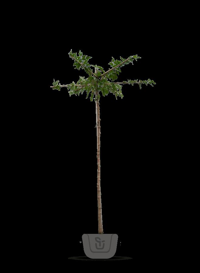 Moerbei - Morus alba Fruitless - Dakboom