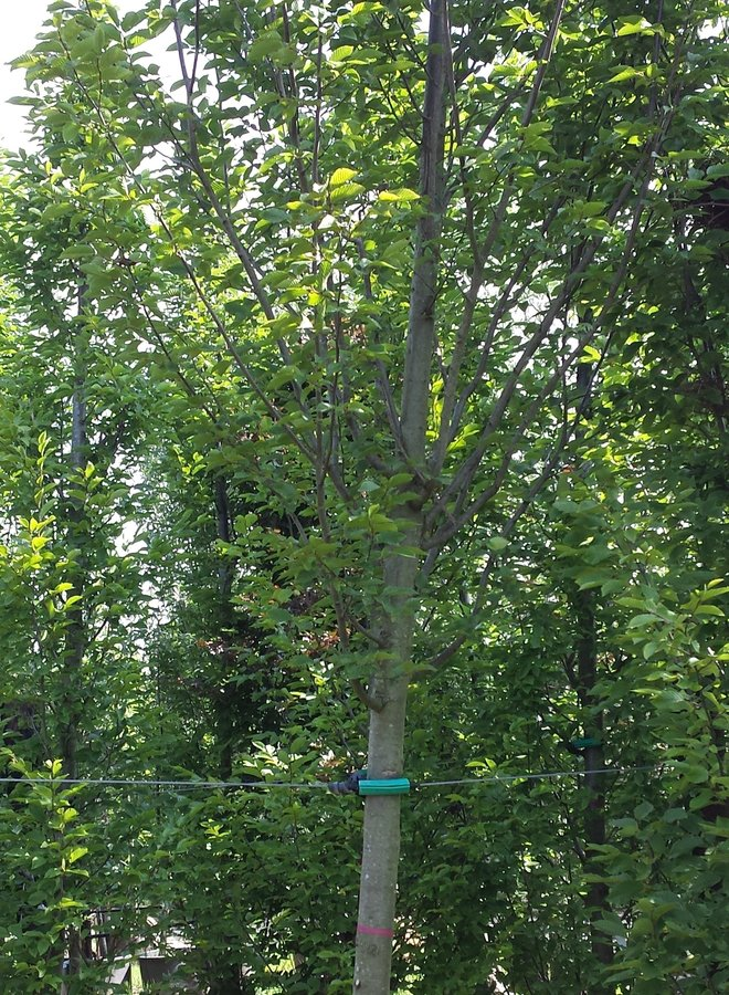 Haagbeuk in zuilvorm - Carpinus betulus Fastigiata