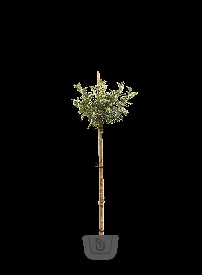 Hulst op stam |  Ilex aquifolium Argentea Marginata