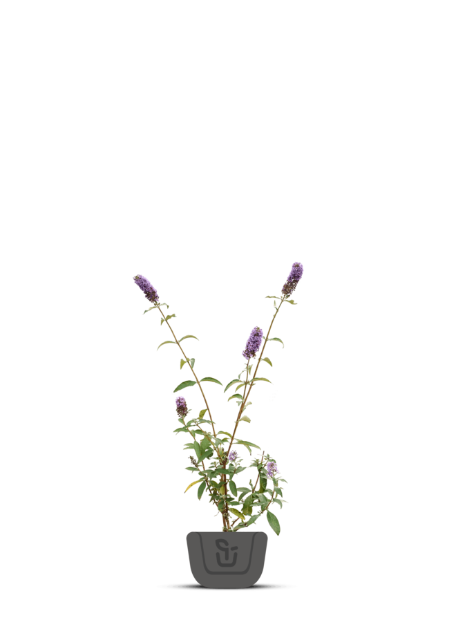 Vlinderstruik |  Buddleja davidii 'Empire Blue'