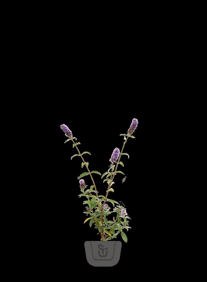 Vlinderstruik - Buddleja davidii 'Empire Blue'