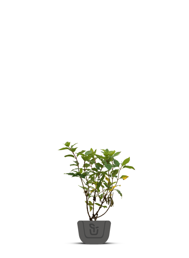 Hortensia   Hydrangea paniculata Little lime