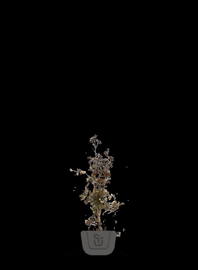 Rode Beuk voor haag   Fagus sylvatica Atropunicea
