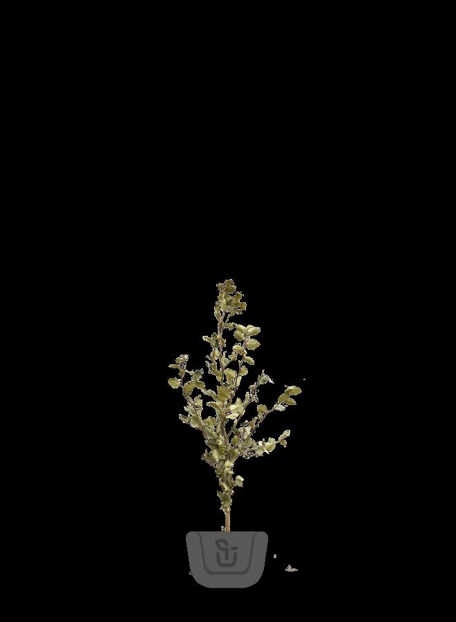 Haagbeuk | Carpinus betulus