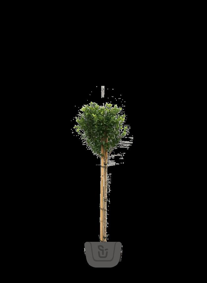 Japanse hulst op stam  |  Ilex crenata Fastigiata