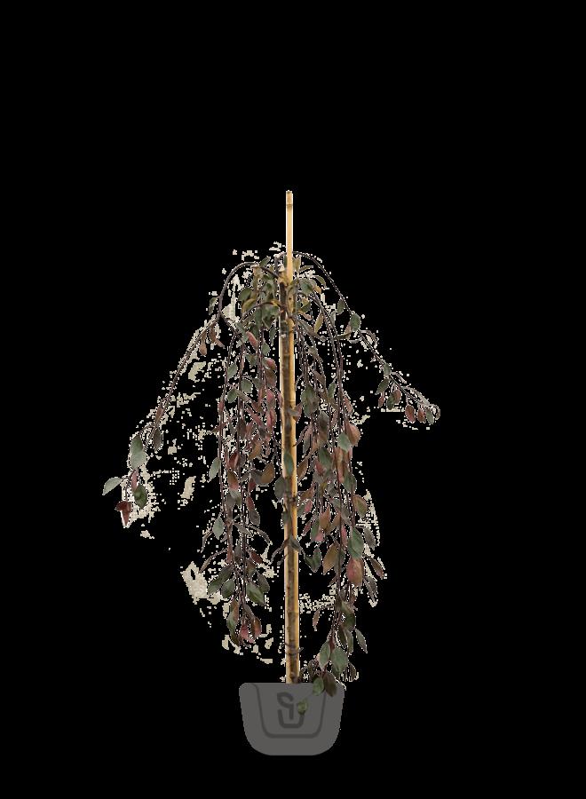 Rode treursierappel op stam    Malus Royal Beauty