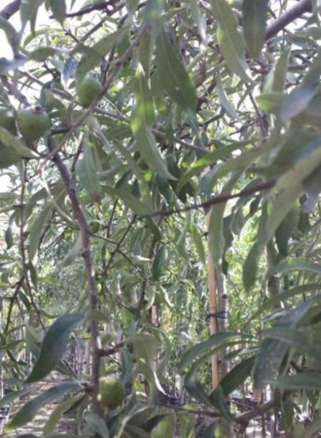 Treursierpeer  - Pyrus salicifolia Pendula