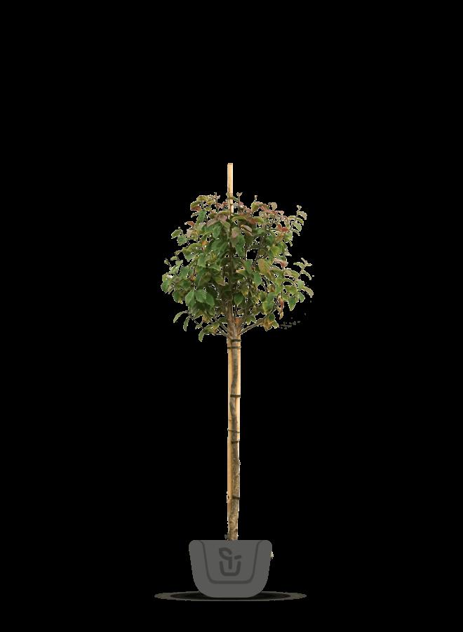 Perzisch ijzerhout op stam |  Parrotia persica Persian Spire