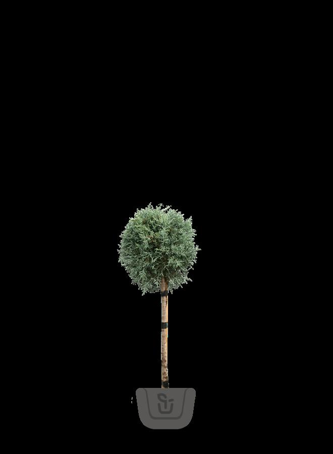 Cipres op stam | Cupressus arizonica Fastigiata