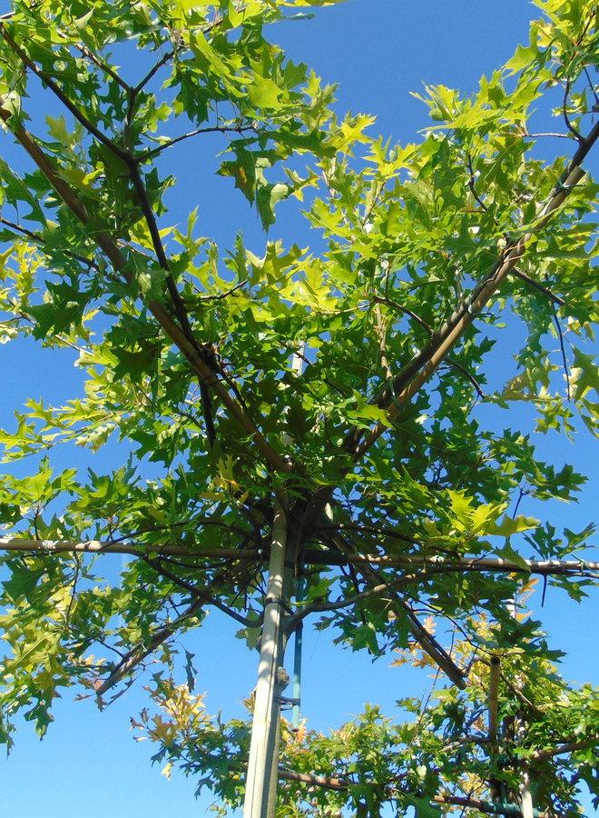 Moeraseik | dakboom | Quercus Palustris
