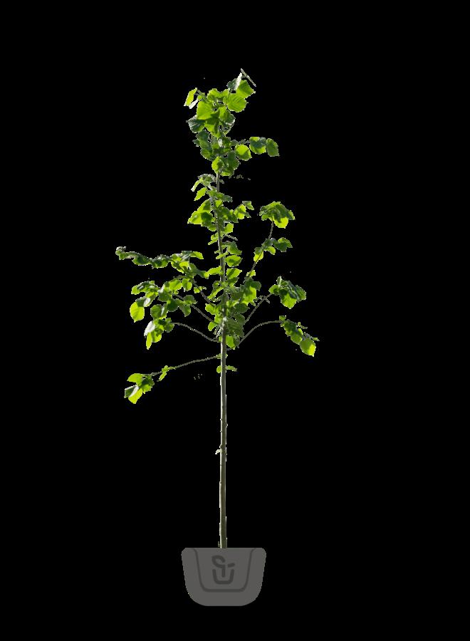 Lindeboom | Tilia cordata Greenspire