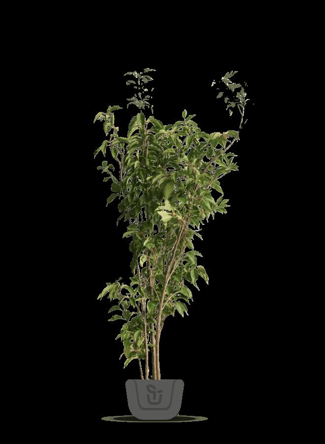 Meerstammige sierkers   Prunus serrulata Amanogawa