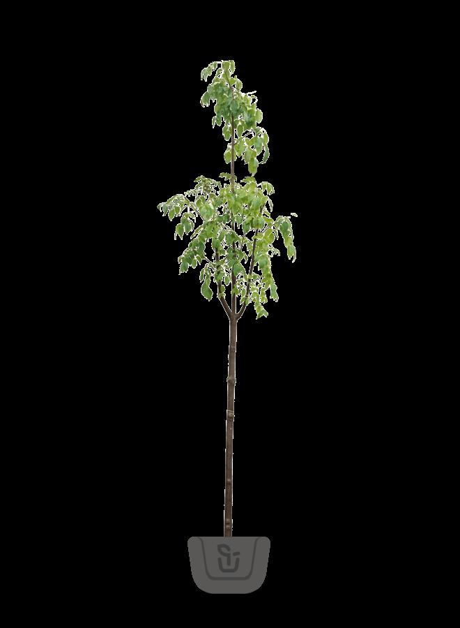 Bijenboom | Tetradium Daniellii