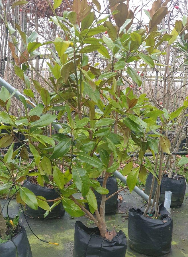 Magnolia struik | Magnolia grandiflora