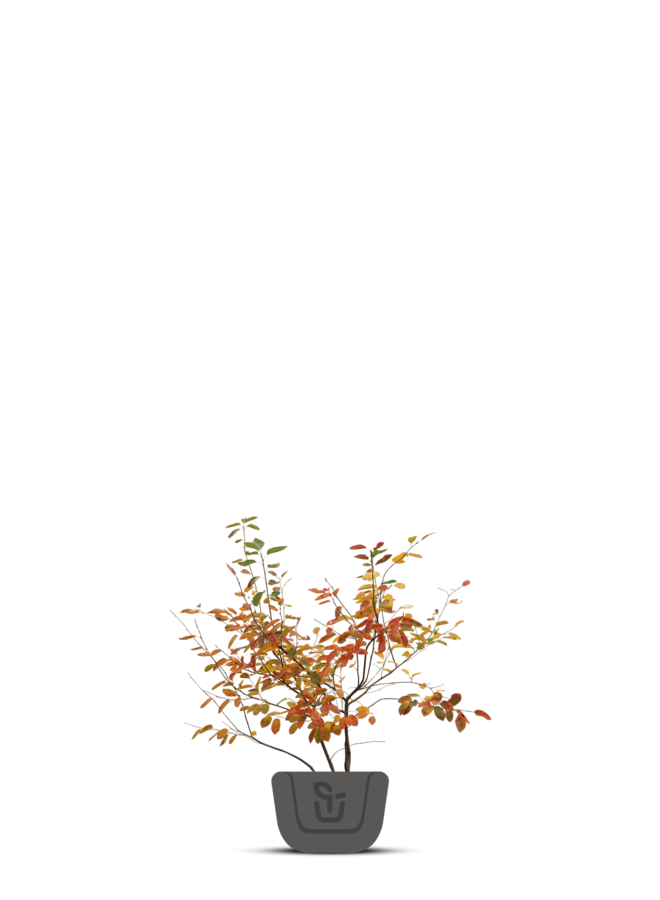 Krentenboom meerstammig | Amelanchier Lamarckii