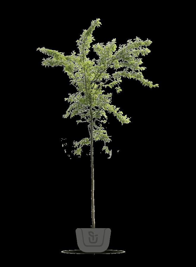 Japanse sierkers | Prunus Accolade