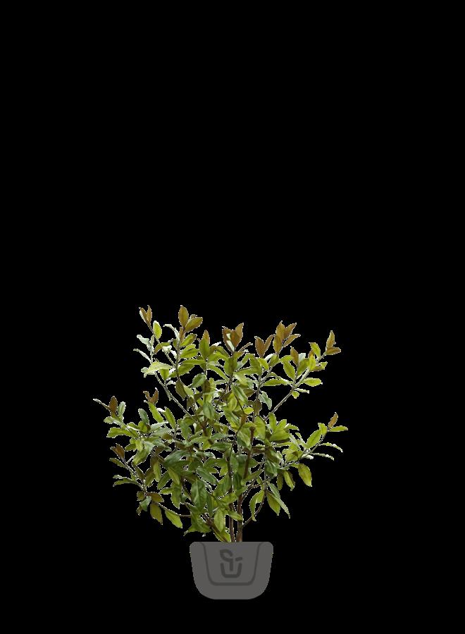 Magnolia meerstammig | Magnolia grandiflora