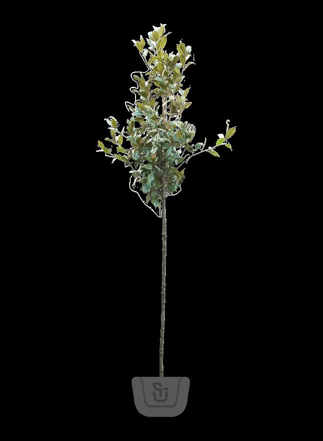 Wintergroene Magnolia grandiflora Galissoniere