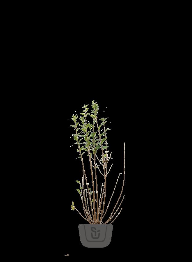 Liguster voor haag | Ligustrum Ovalifolium