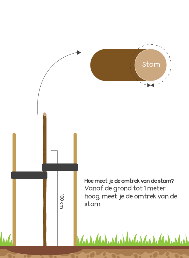 Lei-amberboom | Liquidambar styraciflua Worplesdon