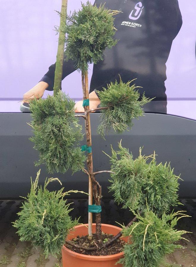 Ponpon Jeneverbes | Juniperus Pfitzeriana  Aurea