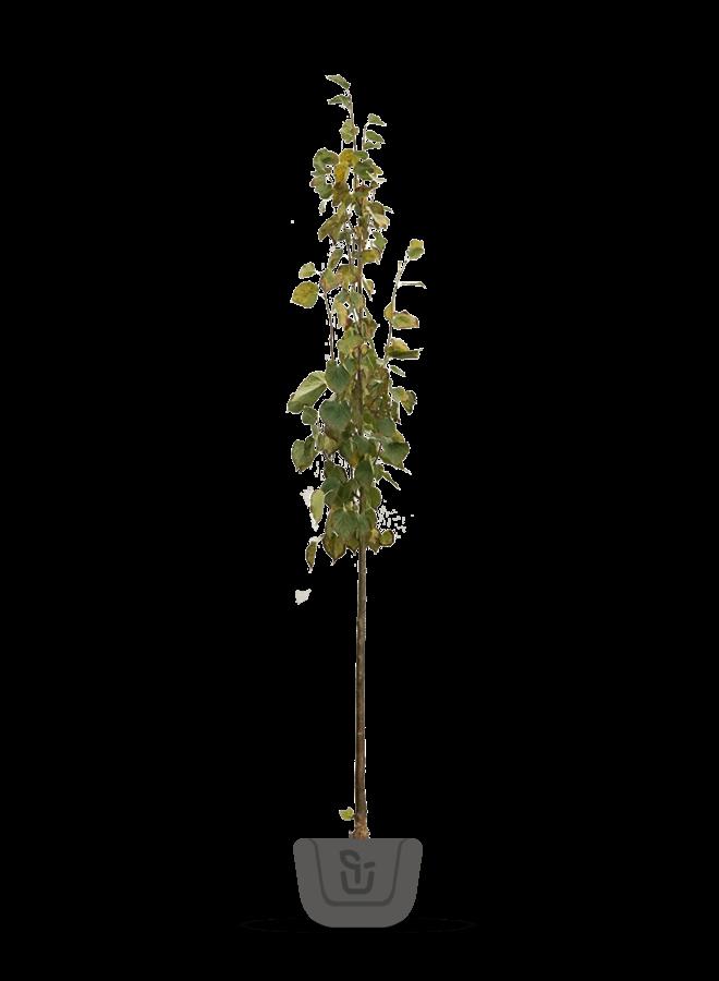 Lindeboom | Tilia europaea Pallida