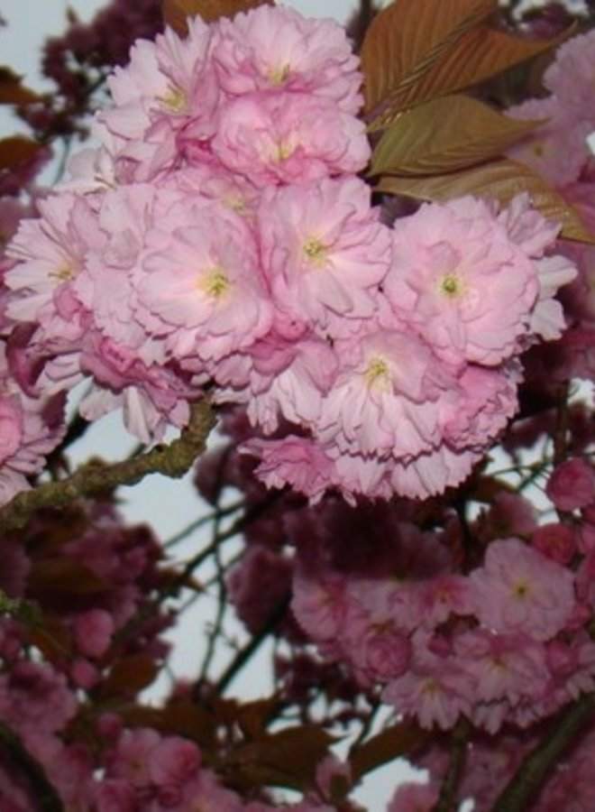Japanse sierkers | Prunus serrulata Kanzan