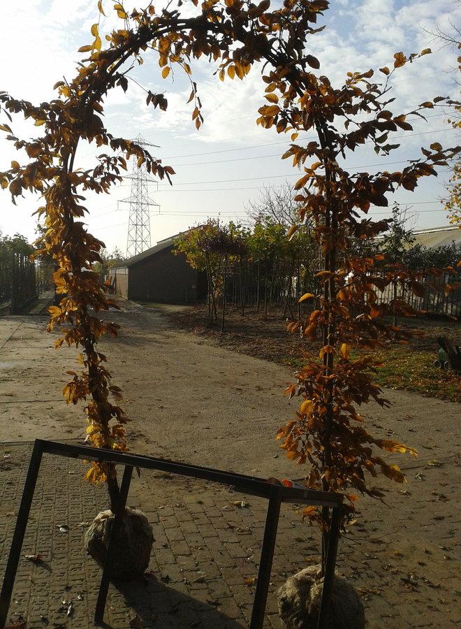 Haagbeuk in boogvorm | Carpinus betulus
