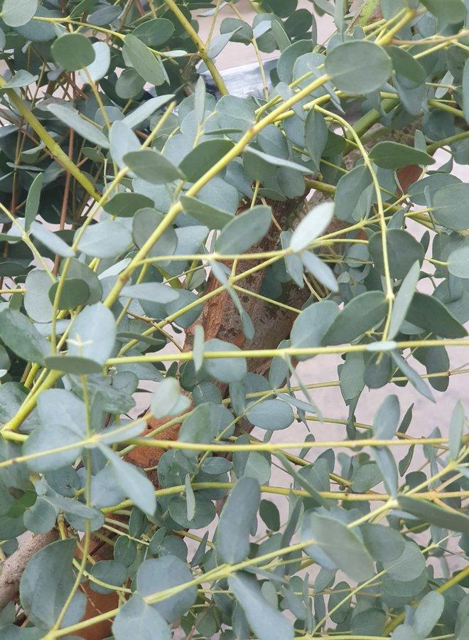 Gomboom | Eucalyptus gunnii op stam