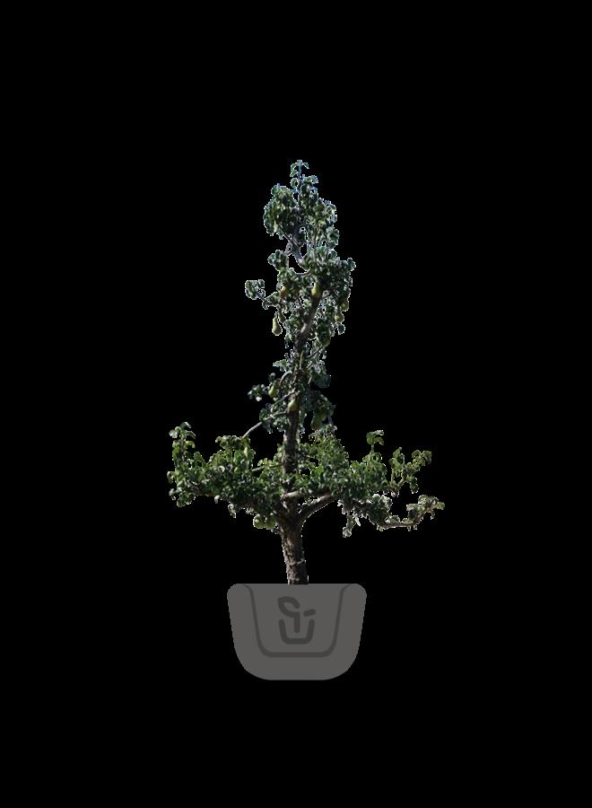 Oude fruitboom | Pyrus communis Gieser Wildeman