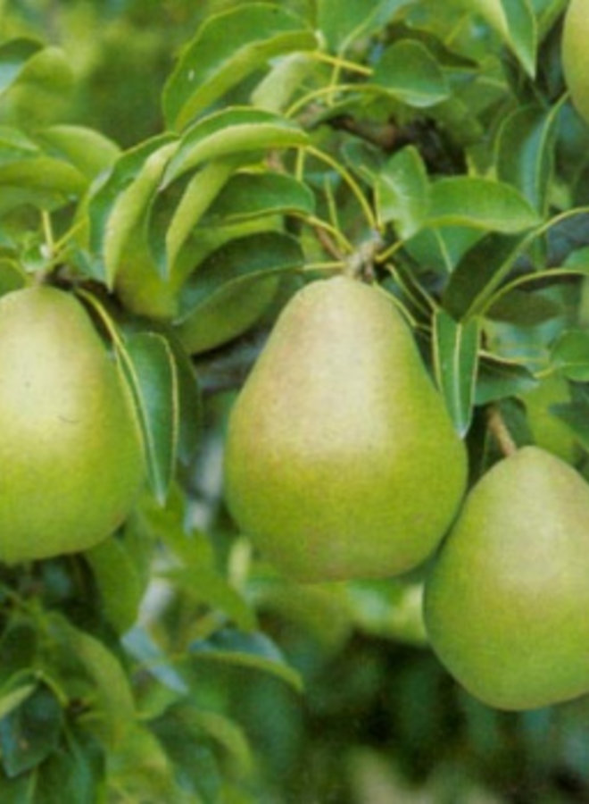 Oude perenboom   Pyrus communis Doyenne du Comice