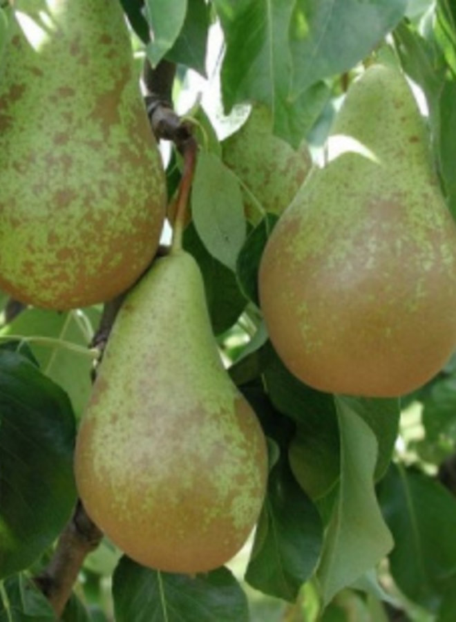 Oude fruitboom | Pyrus communis Conference