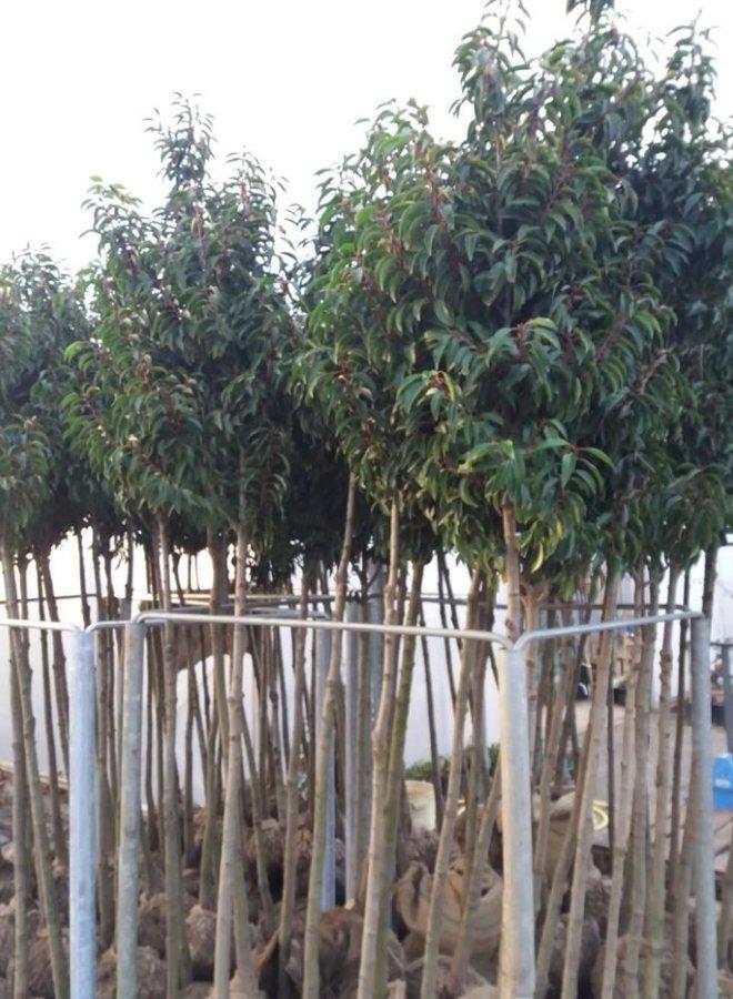 Portugese laurier | Prunus Lusitanica | hoogstam