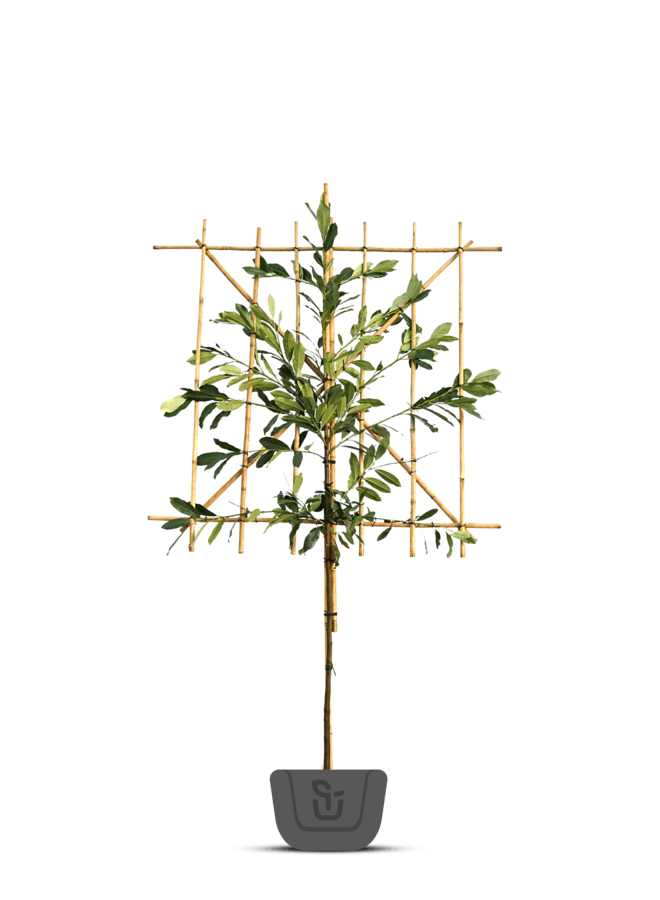 Laurier leiboom | Prunus laurocerasus Elly