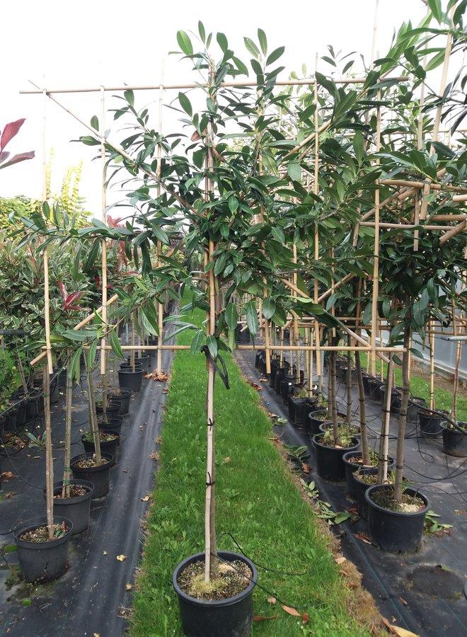 Leilaurier | Prunus laurocerasus Elly
