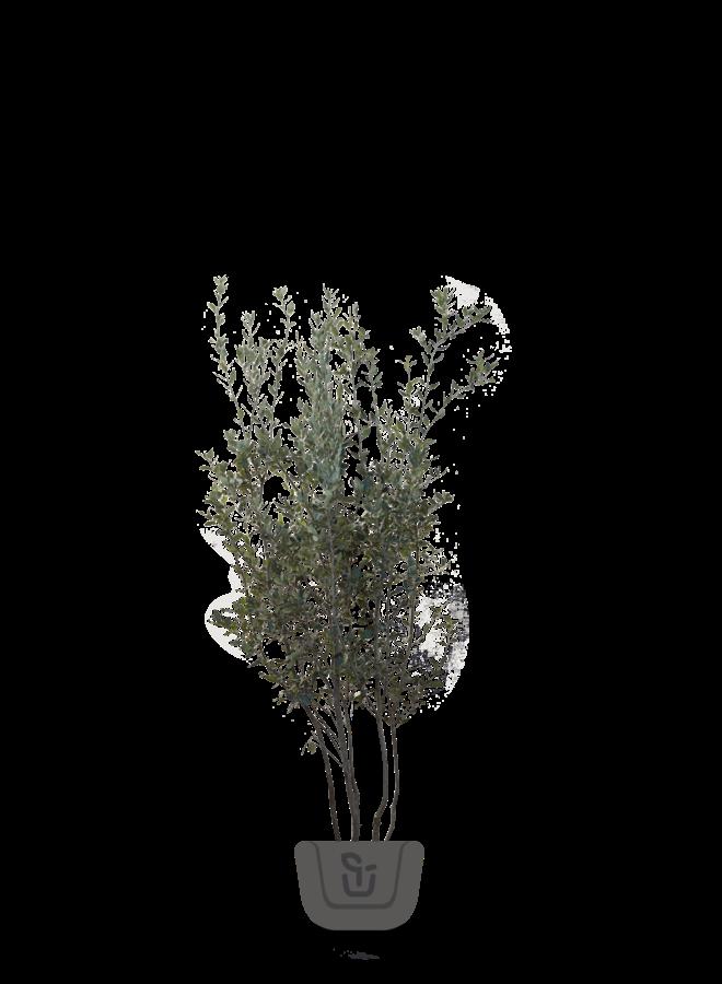 Steeneik   Quercus Ilex - meerstammig